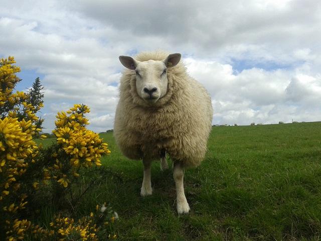 Well 'ard Sheep